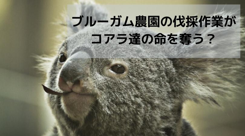 植林農園の伐採作業が-コアラ達の命を奪う