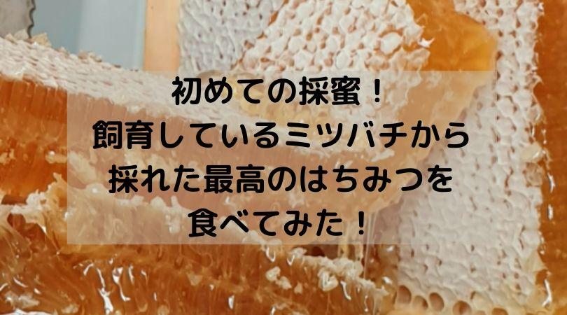 初めての採蜜!飼育しているミツバチから採れた最高のはちみつを食べてみた!Ozkoi