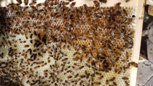 はちみつを作り始めているミツバチ達OzKoi Blog