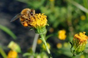 花粉を集めるミツバチ Ozkoi Blog